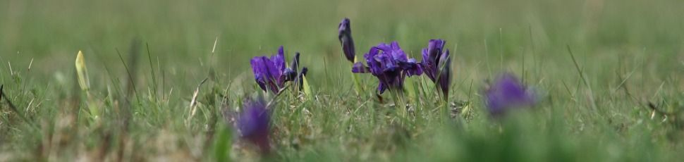 Iris pumila on short-grassed steppe (Photo: Zoltán Orbán).