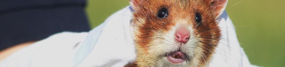 European hamster (Photo: Tamás Cserkész).