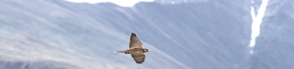 Saker falcon (Photo: Mátyás Pommer).