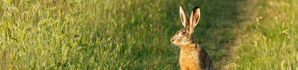European hare (Photo: Zoltán Orbán).