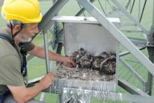 Ringing of the brood of sakers with 6 chicks
